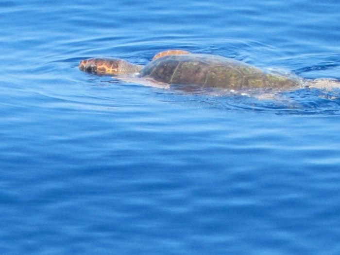 sea_turtles_1