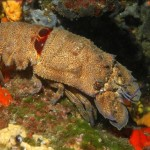 Slipper lobster (Scyllarides latus)