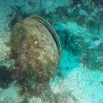 Noble pen mussel (Pinna nobilis)