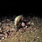Fan mussel (Atrina fragilis)
