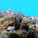 Date mussels (Lithophaga lithophaga)