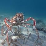 Spider crab (Maja squinado)