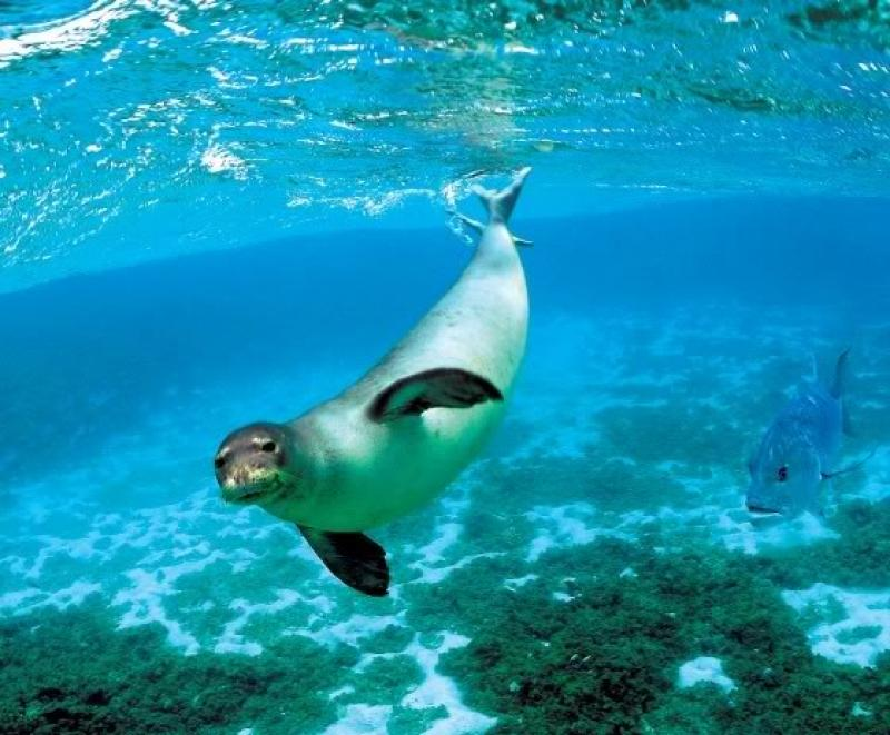 The Mediterranean monk seal (Monachus monachus)