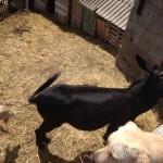 Donkey in Žena Glava